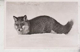 Renard - Fuchs - Volpe - Fox  1959 - Animaux & Faune