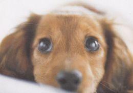 Dachshund - Basset - Teckel - Tackel - Tekkel - Dackel - Dog - Chien - Cane - Hund - Hond - Perro - Cani