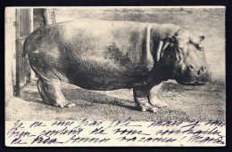 CPA PRECURSEUR FRANCE- ANIMAUX SAUVAGES- HIPPOPOTAME EN 1900- TRES GROS PLAN DE PROFIL- - Hippopotames