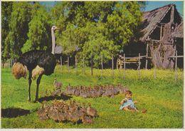 Sud Africa - Struzzi Con Bambina - Sud Africa