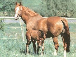 HORSES / PFERDE / CHEVAUX /    POSTCARD  UNUSED     ( H  4810 ) - Pferde