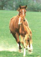 HORSES / PFERDE / CHEVAUX /    POSTCARD  UNUSED     ( H  4812 ) - Pferde