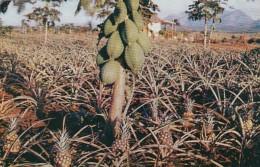 Cuba Typical Pineapple And Papaya Plantation - Cuba