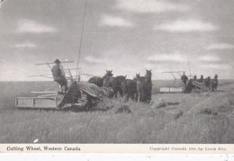 Canadian Harvesting Scene Cutting The Wheat - Cultivation