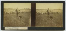 Stéréo Amateur 1900-10 . Berger Et Ses Moutons à Rousseloy (Oise). Chien . - Photos Stéréoscopiques