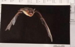 Carte Postale CHAUVE SOURIS  / GRAND MURIN  C3 - Tierwelt & Fauna