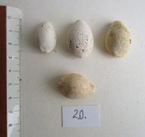 FOSSILES. CYPRAEA. Lot De 4. BURDIGALIEN. - Fossiles