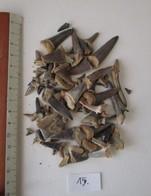 FOSSILES. DENTS DE REQUINS. VEXIN. FRANCE. - Fossils
