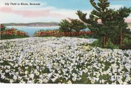 Bermuda Lily Field In Bloom - Bermuda