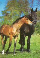 HORSES / PFERDE / CHEVAUX /    POSTCARD  UNUSED     ( H  4820 ) - Pferde