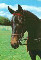 HORSES / PFERDE / CHEVAUX /    POSTCARD  UNUSED     ( H  4823 ) - Pferde