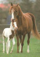 HORSES / PFERDE / CHEVAUX /    POSTCARD  UNUSED     ( H  4828 ) - Pferde