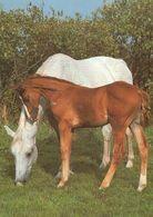 HORSES / PFERDE / CHEVAUX /    POSTCARD  UNUSED     ( H  4829 ) - Pferde