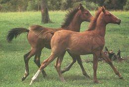 HORSES / PFERDE / CHEVAUX /    POSTCARD  UNUSED     ( H  4831 ) - Pferde