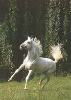 HORSES / PFERDE / CHEVAUX /    POSTCARD  UNUSED     ( H  4835 ) - Pferde