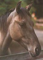 HORSES / PFERDE / CHEVAUX /    POSTCARD  UNUSED     ( H  4836 ) - Pferde