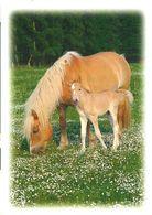 HORSES / PFERDE / CHEVAUX /    POSTCARD  UNUSED     ( H  4888 ) - Pferde