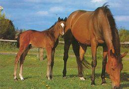 HORSES / PFERDE / CHEVAUX /    POSTCARD  UNUSED     ( H  4890 ) - Pferde