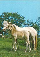 HORSES / PFERDE / CHEVAUX /    POSTCARD  UNUSED     ( H  4891 ) - Pferde