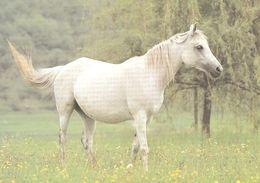 HORSES / PFERDE / CHEVAUX /    POSTCARD  UNUSED     ( H  4906 ) - Pferde