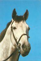 HORSES / PFERDE / CHEVAUX /    POSTCARD  UNUSED     ( H  4907 ) - Pferde