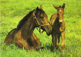 HORSES / PFERDE / CHEVAUX /    POSTCARD  UNUSED     ( H  4909 ) - Pferde