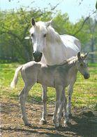 HORSES / PFERDE / CHEVAUX /    POSTCARD  UNUSED     ( H  4928 ) - Pferde