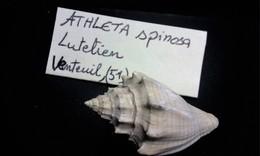 Fossile De Coquillage Athleta - Fossils