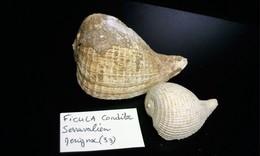 2 Ficula Fossile,Miocène - Fossils