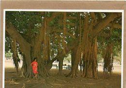 Banyan Tree Cpm  Année 1984 - Oahu