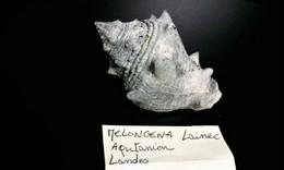 Melongena Fossile Des Landes - Fossils