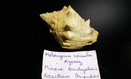 Melongena Cornuta - Fossils