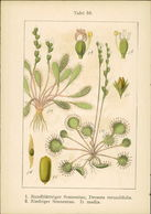Lithographie: 1. Rundblättriger Sonnentau, Drosera Rotundifolia. - Estampes & Gravures