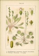 Lithographie: 1. Rundblättriger Sonnentau, Drosera Rotundifolia. - Prints & Engravings