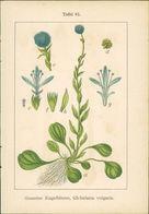 Lithographie : Gemeine Kugelblume, Globularia Vulgaris. Blaues Fettkraut, Pinguicula Vulgaris. - Estampes & Gravures