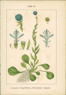 Lithographie : Gemeine Kugelblume, Globularia Vulgaris. Blaues Fettkraut, Pinguicula Vulgaris. - Prints & Engravings