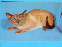 Cp Carte Postale - Chat Siamois Bleu - Chats