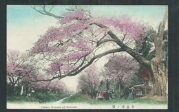 Japon.  Cherry Blossom At Koganei - Japan