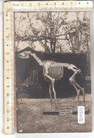 PO7443D# ANIMALI - SCHELETRI OSSA - NATURALISTI - OKAPIA JOHNSTONI  No VG - Animali