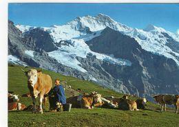 Vaches Animaux Vache Boeufs Veau Troupeau Paturage Ferme Traite Lait - Vaches