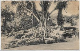 Ceylan Sri Lanka RUBBER TREE..G - Sri Lanka (Ceylon)