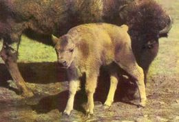 Bisonkuh Mit Jungtier - Tierwelt & Fauna