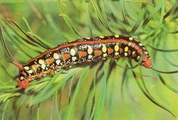Raupe Des Wolfmilchschwärmers - Schmetterlinge