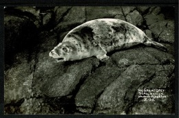 RB 1191 - Real Photo Postcard - The Great Grey Seal - Isles Of Scilly - Animal Theme - Scilly Isles