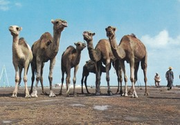 Postcard Tunisie Tunisia Camels Pose For A Snap Shot. My Ref B22302 - Tunisia