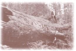 Australia - Fallen Giant, Sherbrooke Forest, Dandenongs, VIC REPRODUCTION Unused - Australia