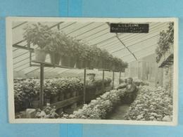 Carte Photo Tilleur Graines Et Plantes Lejeune 1924 - Saint-Nicolas