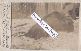 Foto Bialowies Polen Russland 1916 Totes Wisent Bison Nationalpark Urwald Deutsche Soldaten 1.Weltkrieg - War, Military