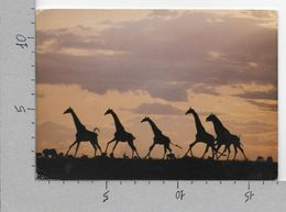 CARTOLINA VG KENIA - African Wildlife - Giraffe - 12 X 17 - ANN. 1992 - Kenya