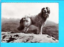 Cp Cartes Postales - Chien Des Pyrenees - Chiens